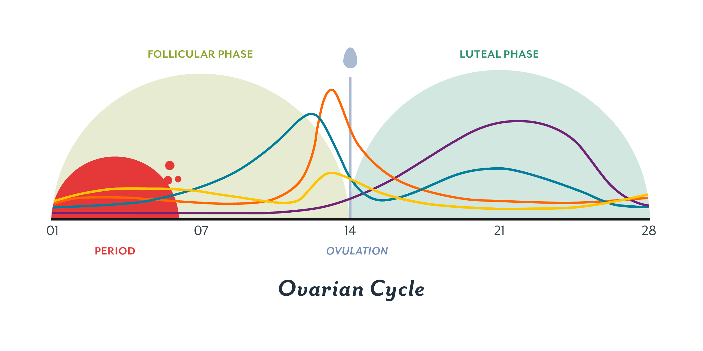 phases of the menstrual cycle